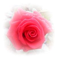 f-rose_r01-p